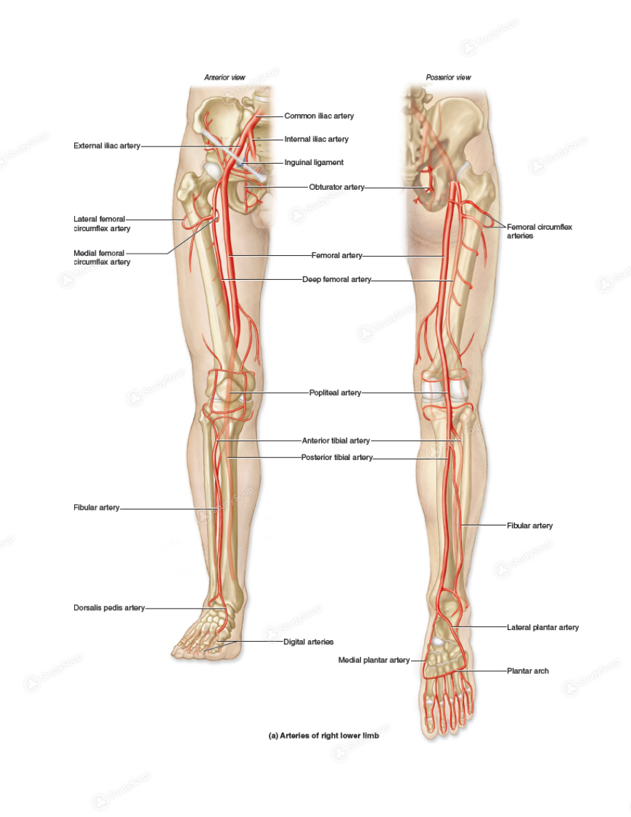 Figure 23.20 Human Anatomy, McKinley 4 thEdition • Arm Arteries o R ...