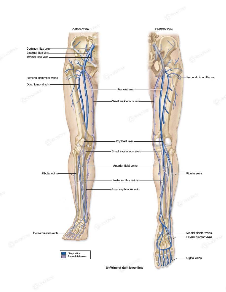 Atemberaubend Deep Veins Of The Leg Anatomy Bilder - Physiologie Von ...